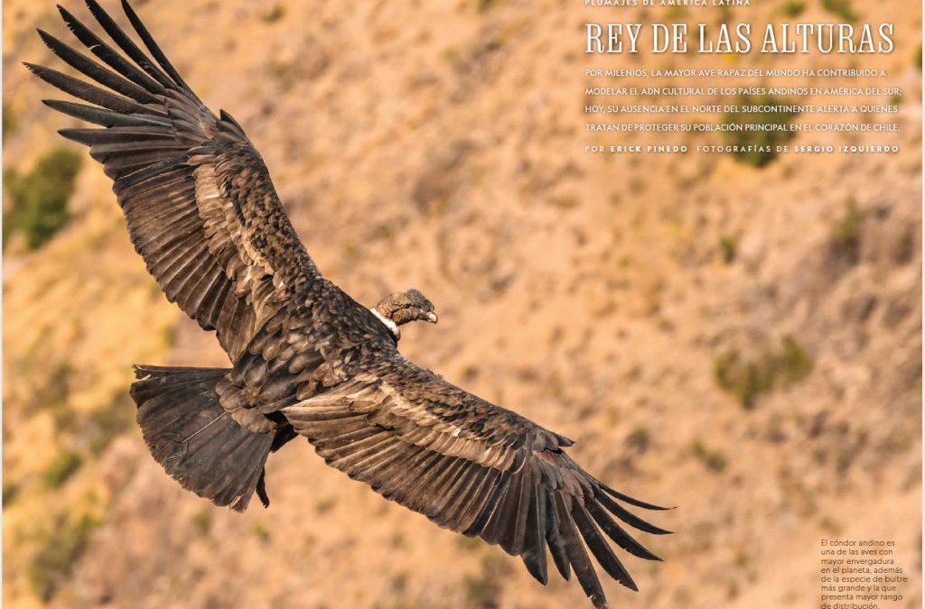 Descubre la vida del rey de las alturas «El Condor», una majestuosa ave que reina en la cordillera de nuestro continente americano