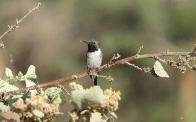 AvesChile participa en proyecto Gef-FAO para la protección del Picaflor de Arica
