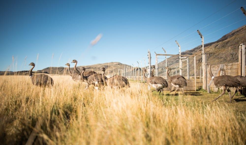 Liberación de ñandúes ayuda a recuperar su población en el Parque Nacional Patagonia