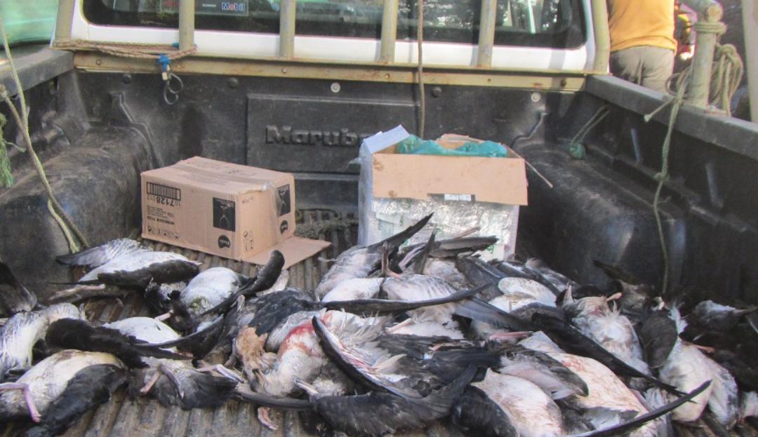Urgente: Organizaciones hacen llamado a disminuir contaminación lumínica y evitar más muertes de aves en Juan Fernández