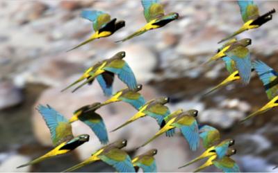 Chile: 35 años de exitosa recuperación de los loros tricahue