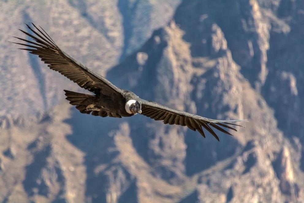 El ave nacional de Colombia está en peligro: solo quedan 63 cóndores en el país