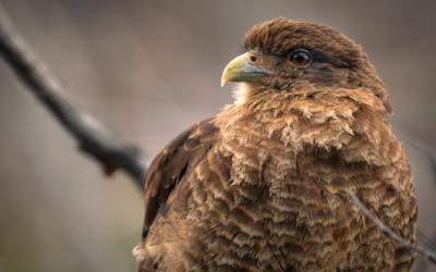"""La sorprendente vida del tiuque o chimango: el olvidado """"cuervo de Sudamérica"""""""